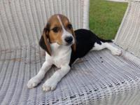 CKC Beagle Puppies. Two females and one male available.