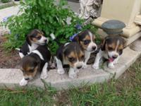 CKC Beagle Puppies black, tan, and white. Males and