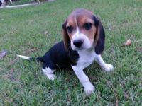 Beagle Puppies, CKC Registered, Black, tan, and white.