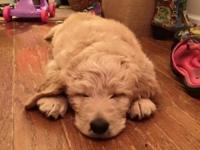 BEAUTIFUL F1 GOLDENDOODLE PUPPIES, wavy golden/white