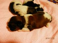 I have 3 BEAUTIFUL, Quality, CKC registered Shih-Tzu