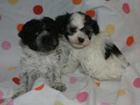 Cute Black and White Female Toy Party Poodles born