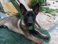 CKC (Continental Kennel Club) registered 9 weeks old