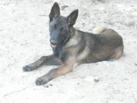 CKC (Continental Kennel Club) registered Belgian