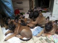 Belgian Malinois Shepherd Puppies - Born 11-29-2015 in