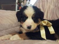 For Sale is the cutest litter of bernese mountain dogs.