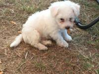 Ckc Bichon Frise , male. Theirs breed is AWSOME for