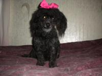 ckc black female toy poodle born 5-5-11 she is 4yrs old