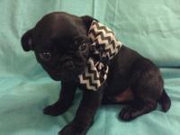 Meet Leo! Black Male Pug Puppy CKC signed up born