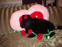 ckc black male toy poodle should weigh between 7-8lbs