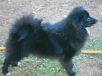 I have a CKC Registered Black Pomeranian with the white