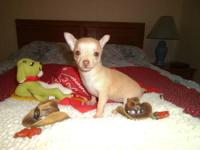 CKC fawn babydoll, Coconut. She is as sweet as honey