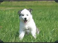 Siberian Husky Puppies available to fantastic houses. 3