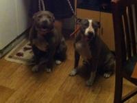 i have ckc american pitbull terriers for sale all