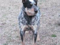 ***Blue Heelers for sure and we think there maybe some