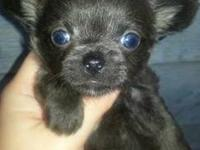 Xtra Tiny Teacup Blue Longhair Chihuahua Puppy looking