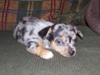 Male Blue Merle CKC Chihuahua puppy for sale, sire is