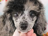Unique and handsome blue merle poodle boy. Pictured