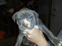 CKC Blue Pitbull Pups ready for Homes. 3 Males @ $600 3