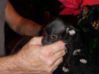 Beautiful little lady that is bluish black. dob
