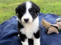 I have 1 CKC registered female Border Collie left. She