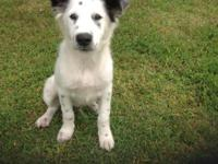 2 -three month old Registered CKC male Border Collies