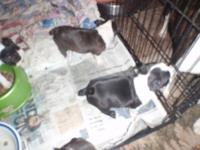 ckc Boston puppies I have two litters first 4 males 2th