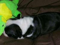 I have 1Boston terrier baby who needs a new family to