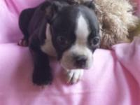 CKC Boston Terrier Female For sale Corlor Black white