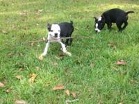 Happy, healthy home raised toy puppies. Both male and
