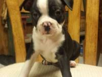 Meet Elly, 1 of our 3 Boston Terrier Puppies for sale.