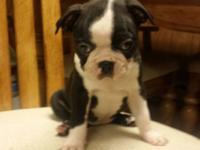 Meet Eva, one of our 3 female Boston Terrier Puppies
