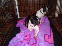 CKC BOSTON TERRIER MALE IS 2 YRS OLD AND FEMALE IS 3
