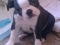 beautiful female boston baby- raised in home, Vet