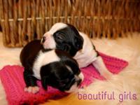 Stunning Boston Terrier Babies- 2 Females Left! Boston