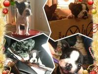 Boston Terrier Puppies 2 Females 1 Male Vet checked