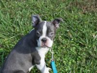 Boston Terrier Puppies - have 2 females and 4 males -
