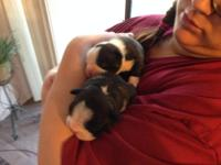 2 females 1 male boston terrier puppies born April 22nd