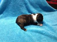 We have two male Boston Terrier puppies left available