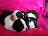 Three female young puppies. Boston Terriers are a