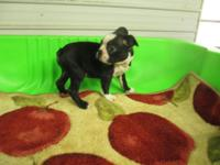 CKC BOSTON TERRIER PUPPIES BLACK & & WHITE. MALES &