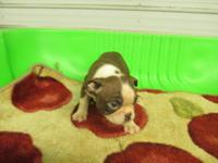 CKC BOSTON TERRIER PUPPIES RED & & WHITE. READY TO GO.