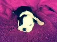 I have one Ckc registered female Boston Terrier for