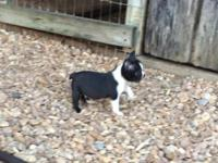 Boston Terrier male puppy ready for a new loving home.