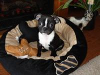 We are now taking deposit's on our boston terrier