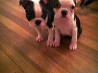We have 2 males and 1 female Boston Terrior puppies