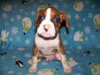 CKC Boxer pups for sale, $300. Vet checked, gauranteed