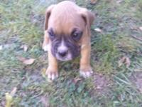ckc Boxer puppies $500.00 company! When chosen up, **