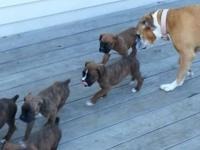 We have 1 male and 4 female Boxer Puppies they are 6