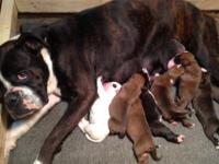 CKC BOXER PUPPIES BORN ON MARCH 10TH. HAVE HAD TAILS